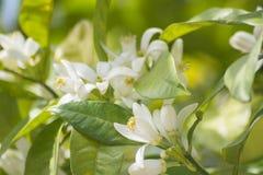 Apelsinen blomstrar i våren som är azahar Royaltyfria Foton