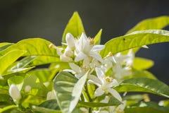 Apelsinen blomstrar i våren som är azahar Arkivbild