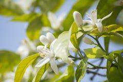 Apelsinen blomstrar i våren som är azahar Royaltyfri Fotografi