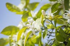 Apelsinen blomstrar i våren som är azahar Royaltyfria Bilder