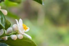 Apelsinen blomstrar på ett träd Royaltyfria Foton