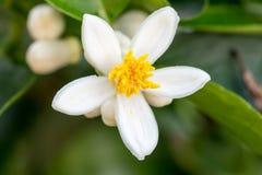 Apelsinen blomstrar på ett träd Fotografering för Bildbyråer