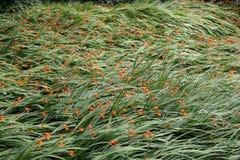 Apelsinen och guling Crocosmia blommar i långt gräs Arkivbilder