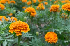 Apelsinen och gulingfärg av ringblomman blommar i trädgården eller parkerar för koloni som blomman för dekorerar, och landskap om Arkivbild