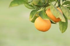 apelsiner Arkivbilder