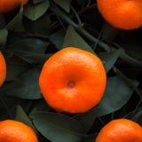 Apelsiner bär frukt på tangerinträd Arkivfoto