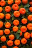 Apelsiner bär frukt på tangerinträd Royaltyfri Fotografi