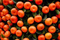 Apelsiner bär frukt på tangerinträd Arkivbilder