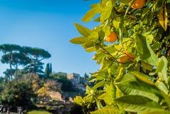 Apelsiner i Rome Fotografering för Bildbyråer