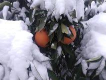 Apelsiner i snön royaltyfri bild
