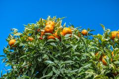 Apelsiner i träd arkivfoton