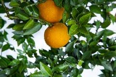 Apelsiner kinesisk favorit- frukt, ber för lovande, lovande arkivfoto