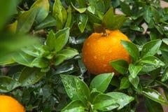 Apelsiner kinesisk favorit- frukt, ber för lovande, lovande royaltyfri fotografi