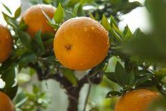 Apelsiner kinesisk favorit- frukt, ber för lovande, lovande royaltyfri foto