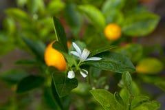 Apelsiner kinesisk favorit- frukt, ber för lovande, lovande royaltyfri bild