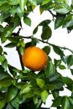 Apelsiner kinesisk favorit- frukt, ber för lovande, lovande arkivfoton