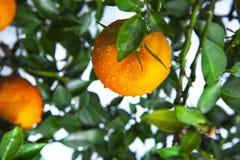 Apelsiner kinesisk favorit- frukt, ber för lovande, lovande arkivbild