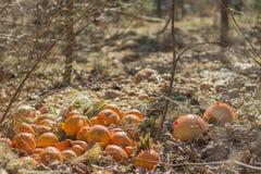 Apelsiner och grapefrukter på groungen i solen tänder Royaltyfria Bilder