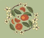 Apelsiner på en grå bakgrund Blommor och frukter sund mat stock illustrationer