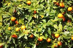 Apelsiner på en Tree Royaltyfri Bild