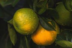 Apelsiner på ett träd i en trädgård royaltyfri fotografi