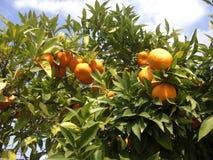 Apelsiner på ett träd välsignade vid solen Arkivbilder