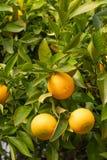 Apelsiner på tree royaltyfria bilder