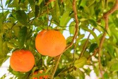 Apelsiner som hänger på träd Apelsiner på träd i Italien, typisk locat Arkivbild