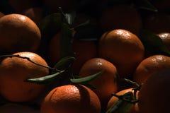 Apelsinerna som är brutna från ett träd Ny frukt Arkivbild