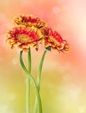 Apelsingerbera för tre blommor royaltyfri foto