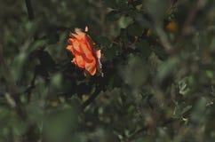 Apelsinros över gräsplan Royaltyfria Bilder