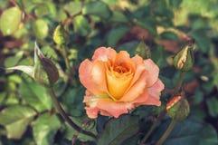 Apelsinros Royaltyfri Foto