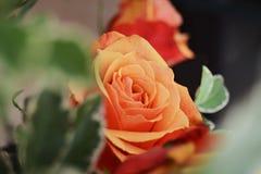 Apelsinros bland sidor Royaltyfri Bild