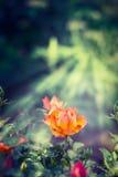 Apelsinrosen i solstrålar på gräsplan garten bakgrund royaltyfria bilder