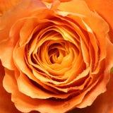 Apelsinrosen med waterdrops stänger sig upp Royaltyfri Fotografi