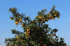 Apelsinträd royaltyfri foto