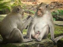 apen royalty-vrije stock fotografie