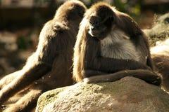apen Stock Afbeelding