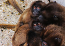 Apen, bavianen heel wat families dierlijke ACHTERGROND stock fotografie