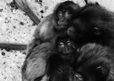 Apen, bavianen heel wat families dierlijke ACHTERGROND stock foto