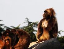 Apen, bavianen heel wat families dierlijke ACHTERGROND royalty-vrije stock foto