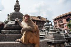 Apen bij Aaptempel, Katmandu, Nepal Stock Afbeelding
