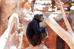Apen bij dierentuin. Royalty-vrije Stock Afbeeldingen