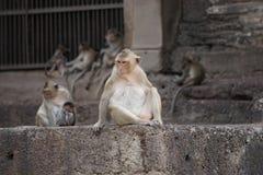 Apen bij een Thaise Tempel Stock Afbeeldingen