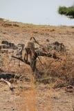 Apen bij het nationale park van Ruaha, Tanzania Oost-Afrika Royalty-vrije Stock Foto's