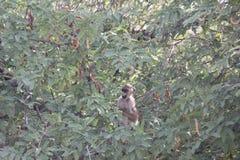 Apen bij het nationale park van Ruaha, Tanzania Oost-Afrika Royalty-vrije Stock Afbeelding