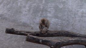 Apen in de dierentuin stock video