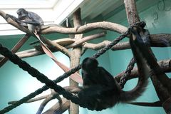 Apen in de DIERENTUIN in Poznan, Polen Stock Fotografie