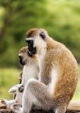 Apen in de takken Royalty-vrije Stock Afbeeldingen