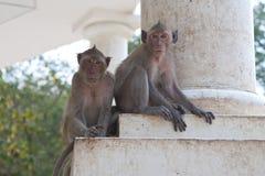 Apen in de tempel Royalty-vrije Stock Afbeeldingen